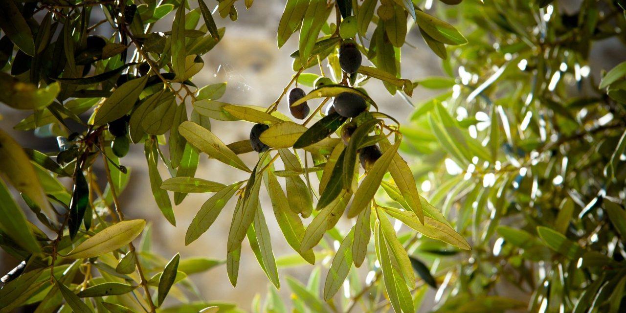"""Incontro """"Innovazioni sulla nutrizione fogliare dell'olivo"""" (21 aprile)"""