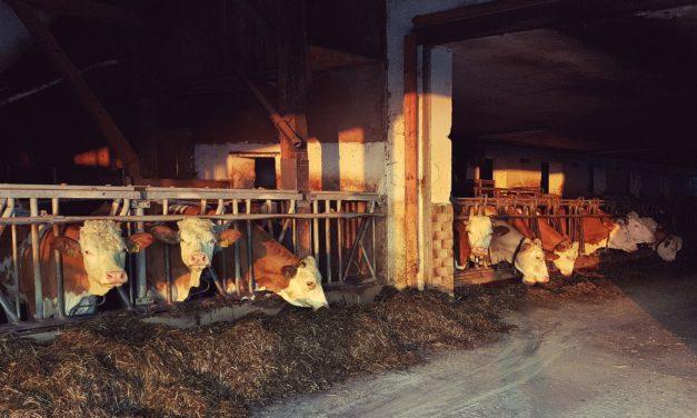 Sistemi di precisione automatizzati nella gestione dell'allevamento bovino (Video Progetto Milklimat)